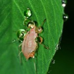 レタス栽培で気をつけるべき害虫アブラムシとなめくじの対処方法