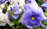 pansy-139699_640