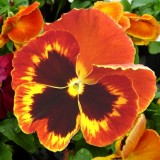 pansy-171662_640