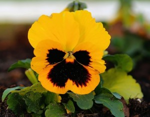 pansy-542943_640