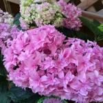 【母の日ギフト】超めずらしい鉢植えアジサイ品種はコレだ!
