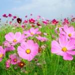 秋の花壇やプランターで育てやすいガーデニング初心者向きの花