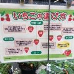 イチゴ栽培!初心者におすすめの育てやすい品種一覧
