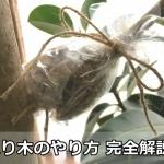 取り木の仕方と時期|アルテシマゴムの木で写真解説!1ヶ月で発根させるコツ
