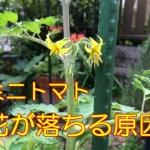 ミニトマトの花が落ちる原因|初心者栽培で考えられる理由