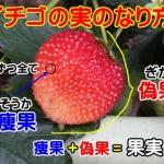 イチゴの実のなり方|実が成るまでの流れと果実部分を画像解説