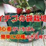 イチゴの袋栽培!初心者がいちばん簡単に収穫できる育て方